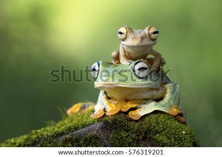 Flying frog sitting on body, beautiful tree frog on branch, rachophorus reinwardtii, Javan tree frog #576319201