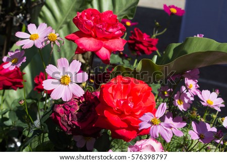 Red roses and pink cosmos flowers bloom in the garden divides. #576398797