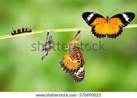 Isolated Male Leopard lacewing (Cethosia cyane euanthes)  butterfly , caterpillar, pupa and emerging with clipping path #576690022