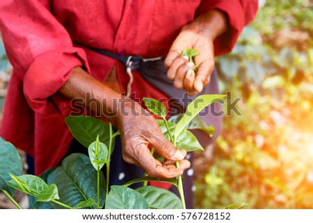 The hand of a woman who collects tea leaves #576728152
