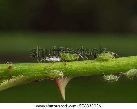 photo shows aphids on rose shoot close to a thorn; contains exuvia