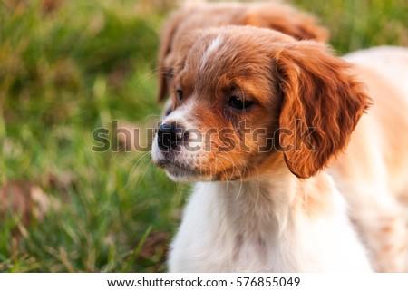 Epagneul Breton puppy #576855049