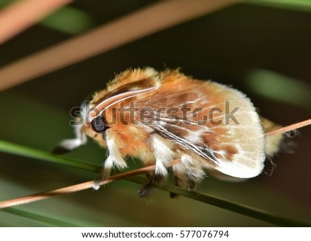 A fuzzy Southern Flannel Moth (Megalopyge opercularis) rests after emerging from its cocoon. In the caterpillar stage, they are one of the most venomous insects in the US and to be avoided at all time #577076794