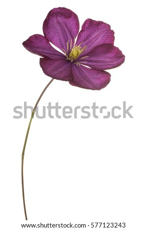 Studio Shot of Fuchsia Colored Clematis Flower Isolated on White Background. Large Depth of Field (DOF). Macro. #577123243