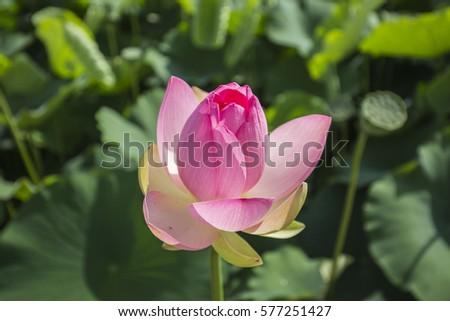 lotus #577251427
