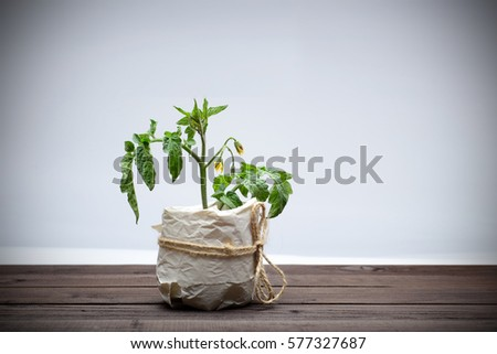 Tomato plant in a paper cup on wooden table isolated on white #577327687