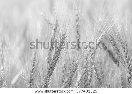 barley field in black and white filter #577401325