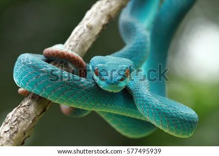 Blue viper snake closeup on branch,blue insularis,Trimeresurus Insularis Royalty-Free Stock Photo #577495939