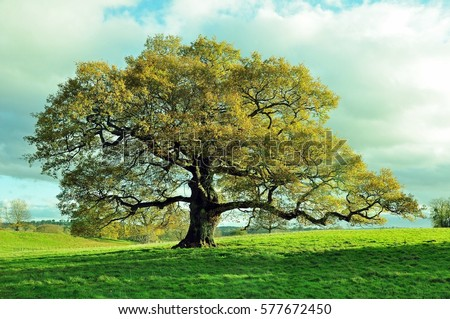 Old oak tree in an English meadow. #577672450