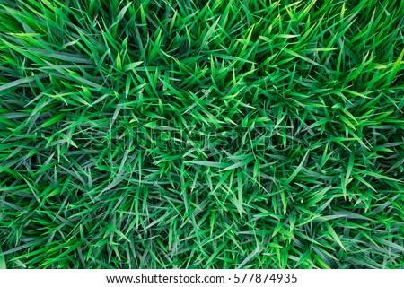 Background of a green grass. Green grass texture Green grass texture from a field #577874935