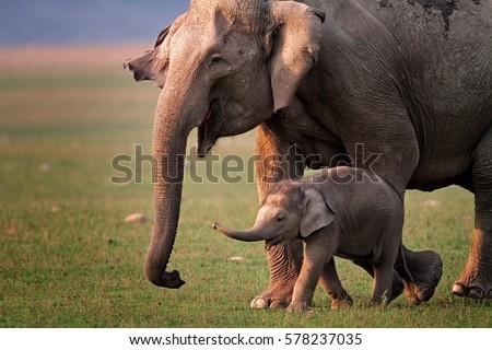 Wild Asian elephant mother and calf, Corbett National Park, India.  Royalty-Free Stock Photo #578237035