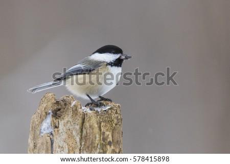 Black-capped Chickadee  in winter #578415898