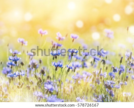 Summer landscape with wildflowers cornflowers in the rays of the sun #578726167