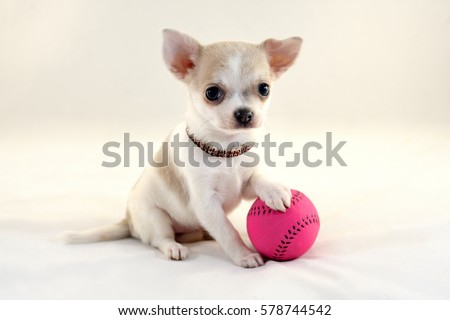 Cute short-haired white color miniature Chihuahua puppy with tennis ball on white background. The puppy is 2 month old on the picture.
