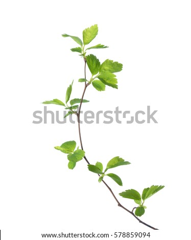 Branch with young green spring leaves isolated on white.  #578859094