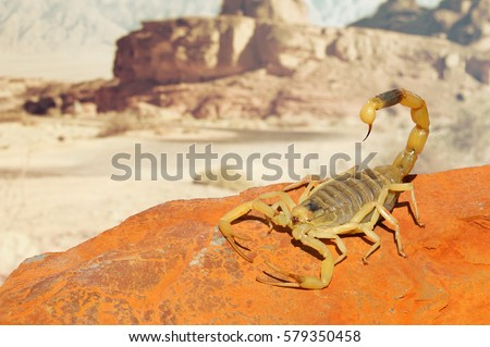 Yellow Scorpion on red sand stone with mountain of colored stony desert landscape in soft background. Close up #579350458