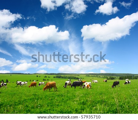 Cows on green meadow #57935710