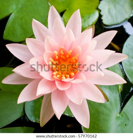Pink Water Lily #57970162