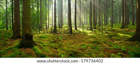 Spruce Tree Forest, Sunbeams through Fog illuminating Moss and Fern Covered Forest Floor, Creating a Mystic Atmosphere Royalty-Free Stock Photo #579736402