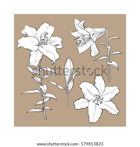 Set of hand drawn white lily flowers in side and top view, sketch style vector illustration isolated on brown background. Realistic hand drawing of white lily, wedding, easter flower, symbol of love #579813823
