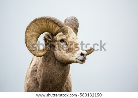 Close up of head and horns of a wild big horned sheep in Southern Canada. Background is a neutral grey fog over a lake. Royalty-Free Stock Photo #580132150