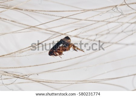Extreme macro picture of a flea on a strand of hair