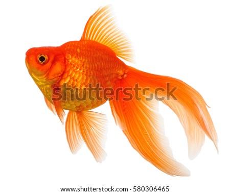 Gold Fish Isolated on White Background Royalty-Free Stock Photo #580306465