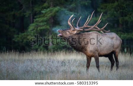 Bull elk bugling during the rut. Royalty-Free Stock Photo #580313395