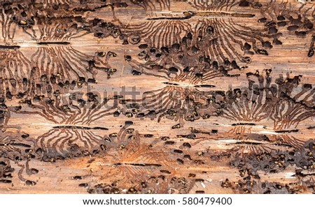 The European spruce bark beetle. Traces of a pest on a tree bark #580479400