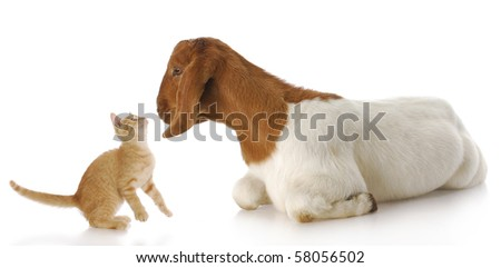 cute kitten and goat doeling interacting with each other with reflection on white background #58056502