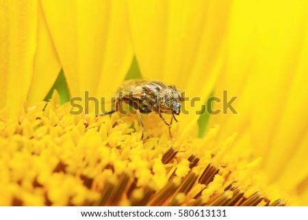 Eristalis arvorum on plant in the wild #580613131