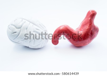Brain and stomach. Anatomical models of human brain and stomach are on white background. Photo visualizing relationship of nervous and digestive system, gut-brain connection or axis, brain in belly