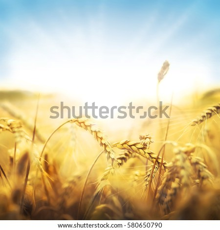 Sun behind a wheat field.  #580650790