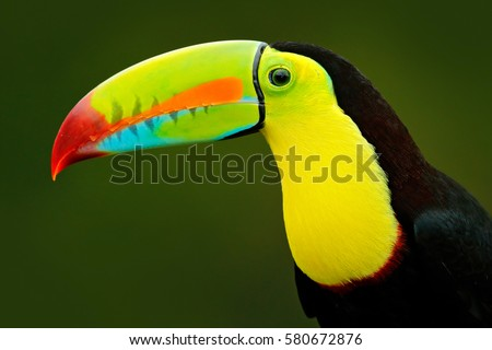 Detail portrait of toucan. Beautiful bird with big beak. Chesnut-mandibled sitting on the branch in tropical rain with green jungle in background, Costa Rica.
