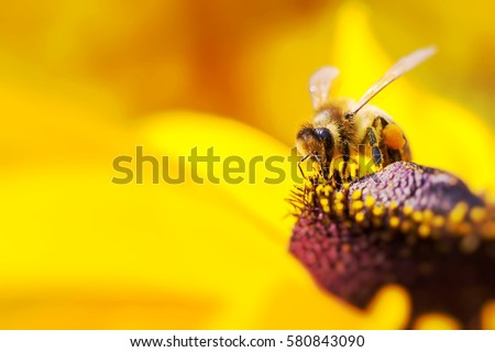 Close-up photo of a Western Honey Bee gathering nectar and spreading pollen on a young Autumn Sun Coneflower (Rudbeckia nitida). #580843090