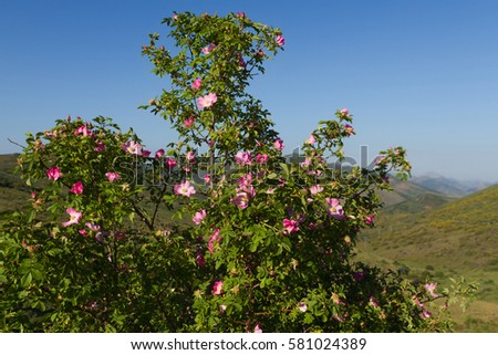 Wild rose with flowers (Rosa canina) with mountainous landscape background  #581024389