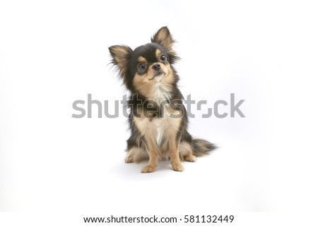 black and tan cream long coated Chihuahua isolated over white background #581132449