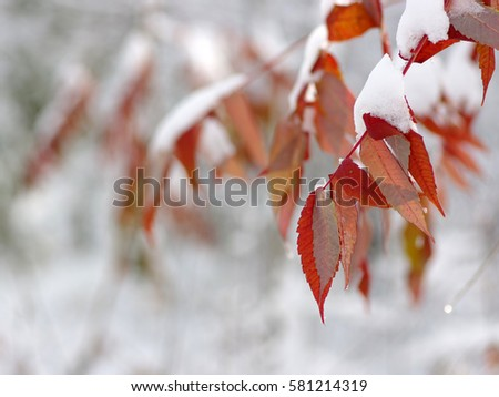 Yellow leaves in snow. Late fall and early winter. Blurred nature background with shallow dof. #581214319