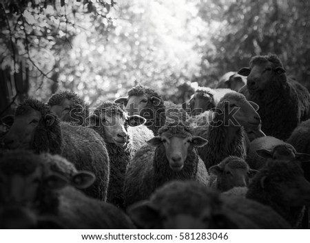 flock of fluffy sheep as a texture #581283046