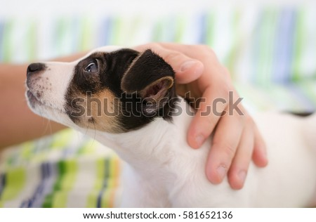 Jack russel terrier puppy is lying on the bed with colorful linens and the human's hand stroking dog, confidence trust concept, love between dog and human, soft focus, blur hand #581652136
