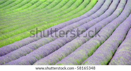 Lavender field rows #58165348