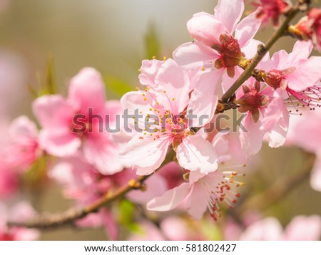 Spring flowers series, macro of beautiful peach blossoms with nature blurred background, focused on the stamen. #581802427