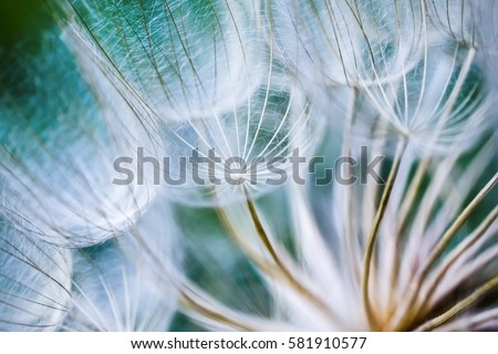 Tragopogon pseudomajor S. Nikit. Dandelion seeds, photo close up #581910577