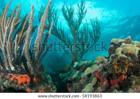 Soft Coral Reef Composition, including Sea Rods, Sea Fans and Sea Whips, picture taken in Broward County, Florida