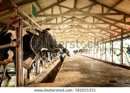 Dairy cows in a farm #582055351