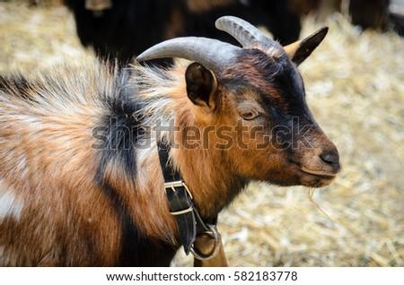 The portrait of goat #582183778