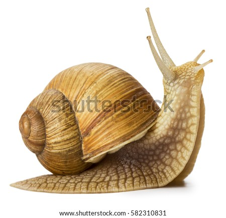 Garden snail isolated on white. Royalty-Free Stock Photo #582310831