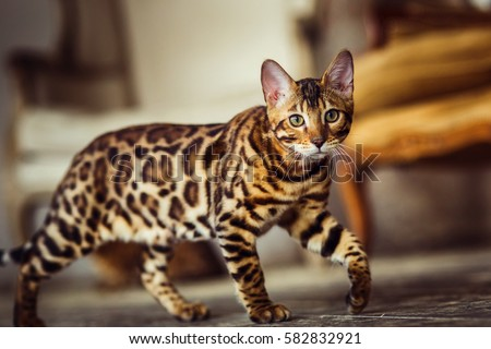 Bengal cat like a leopard sneaks Royalty-Free Stock Photo #582832921