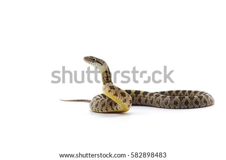 rat snake attack pose isolated on white background Royalty-Free Stock Photo #582898483