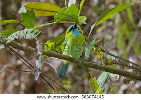 Black-browed Barbet (Megalaima oorti). Fraser's Hill, Malaysia #583074145